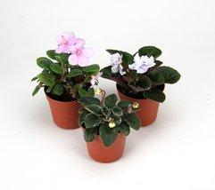 Terrarium/fairy Garden Kit Miniature African Violet 3-pk 2'' Pot C... - $381,21 MXN