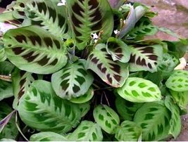 "Green Prayer Plant - Maranta - Easy to Grow - 6"" Hanging Basket - $16.99"