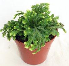 """Frosty Fern Spike Moss - Selaginella - Easy to Grow - 2.5"""" Pot - $6.00"""
