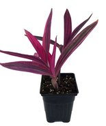 "Variegated Purple Heart Plant - Setcreasea - Indoors or Out - Easy - 4"" Pot - ₹568.93 INR"