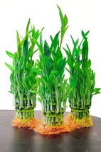Top Quality Lucky Bamboo for Feng Shui, 5 Pound (Pack of 3) - £23.15 GBP