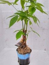 "5 Money Tree Plants Braided Into 1 Tree -Pachira 3.5"" Hand Pa... - £13.99 GBP"
