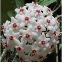 "Strawberries & Cream Wax Plant - Hoya - Great House Plant - 4"" Hanger Po... - $190,50 MXN"