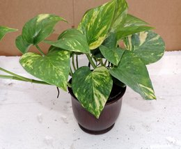 "Golden Devil's Ivy - Pothos - Epipremnum - 4"" ceramic Pot red color - Ve... - $15.00"