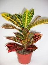 'Croton' (1) Plant / Codiaeum Variegatum Petra 6'' Unique From Jmbamboo - $285,86 MXN