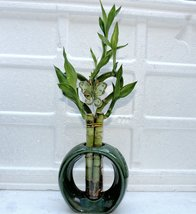 Live heart Style Lucky Bamboo Plant Arrangement w/ Round Ceramic Vase - £13.11 GBP