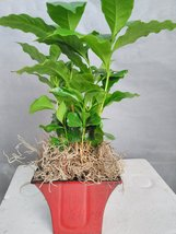 Arabica Coffee Bean Plant -With Decorative Red/blck 5'' Pot - $18.99