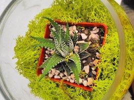 Succulent Terrarium with Moss and River Rocks Unique From Jmbamboo - $23.00
