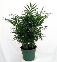 "Victorian Parlor Palm - Chamaedorea - Indestructable - 4"" Pot - $9.99"