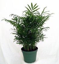"""Victorian Parlor Palm - Chamaedorea - Indestructable - 4"""" Pot - $190,50 MXN"""