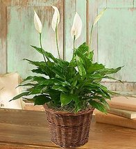Spathiphyllum Plant for Sympathy Small by 1-800 Flowers - $42.00