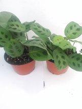 "*Two Green Prayer Plant - Maranta - Easy to Grow - 4"" Pot - Easter Plant - $286,05 MXN"