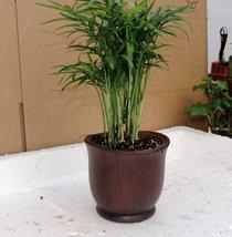 "Victorian Parlor Palm - Chamaedorea - 4"" Ceramic Pot/ color red -from-jm... - $305,12 MXN"
