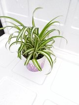 mothers gift - Ocean Spider Plant - Easy to Grow - Cleans the Air - NEW ... - $13.99