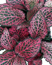 """Jmbamboo - Red Veined Nerve Plant - Fittonia - Easy House Plant - 4"""" Pot... - $152,36 MXN"""