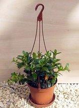 "jmbamboo-Goldfish Plant - 4"" Hanging Basket - Blooms Constantly! - $266,79 MXN"