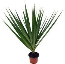 "Madagascar Dragon Tree - Dracaena marginata - 4"" Pot - Easy to Grow Hous... - ₨881.35 INR"