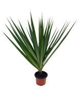 "Madagascar Dragon Tree - Dracaena marginata - 4"" Pot - Easy to Grow Hous... - $12.99"