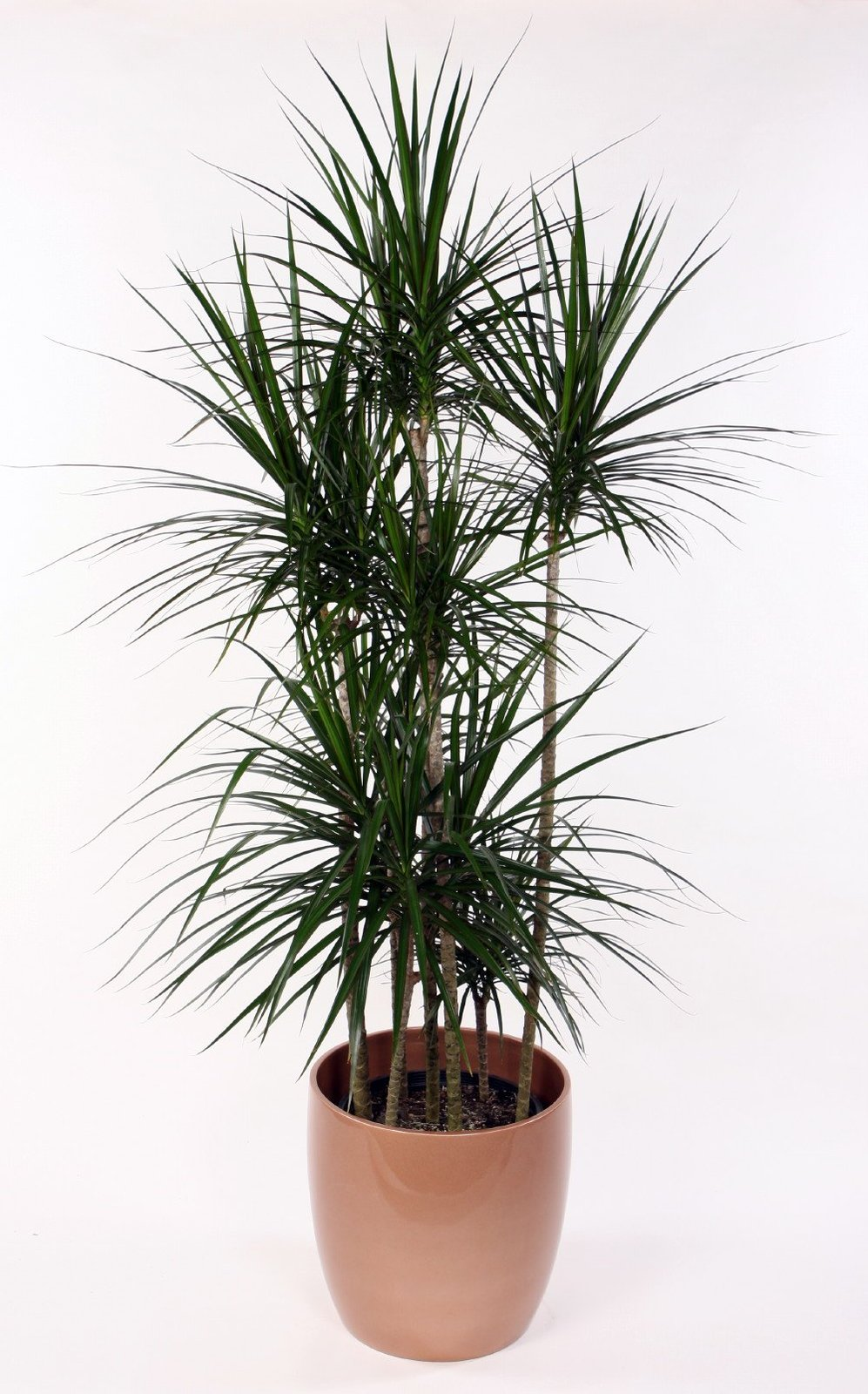 "Madagascar Dragon Tree - Dracaena marginata - 4"" Pot - Easy to Grow House Plant"