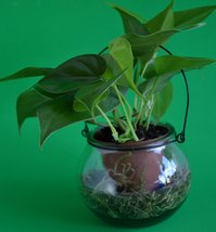 "Heart Leaf Philodendron - 4"" Glass Vase that looks like a lantern with a... - $14.99"