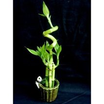 1 set (6 Pieces) of Lucky Bamboo Arrangement in a Ceramic Panda V... - $23.99