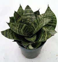"Dwarf Zeylanica Snake Plant - Sanseveria - Impossible to kill! - 4"" Pot - $14.99"