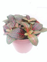 """Red Veined Nerve Plant - Fittonia - Easy House Plant - 4"""" Pot - ₨344.13 INR"""