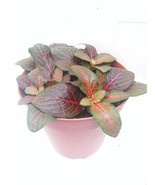 "Red Veined Nerve Plant - Fittonia - Easy House Plant - 4"" Pot - ₹710.45 INR"