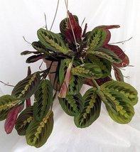 "Red Prayer Plant - Maranta - Easy to Grow House Plant - 6"" Hanging Basket / f... - ₨1,238.88 INR"