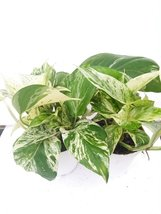 "*Two Marble Queen Devil's Ivy - Pothos - Epipremnum 4"" Pot - Easy to Grow - $16.00"