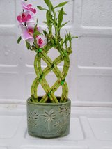 Jmbamboo- Live 8 Braided Style Lucky Bamboo Plant Arrangement with green... - £12.34 GBP