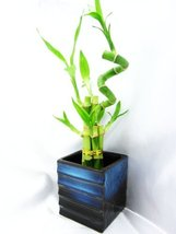 - Live Spiral 7 Style Lucky Bamboo Plant Arrangement with Black/Blu... - £19.30 GBP