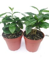 """*Two Arabica Coffee Bean Plant 4"""" Pot Grow & Brew Your Own Coffee Beans - $16.00"""
