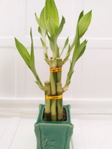 Jmbamboo - Live 6 Style Lucky Bamboo Plant Arrangement with Ceramic Green Squ... - ₨1,051.94 INR