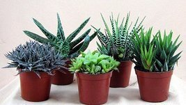 "Haworthia Collection 5 Plants - Easy to Grow/hard to Kill - 3"" Pot From ... - ₨1,687.45 INR"