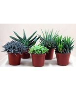 "Haworthia Collection 5 Plants - Easy to Grow/hard to Kill - 3"" Pot From ... - ₨1,761.98 INR"