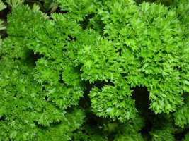 Non GMO - Parsley, Triple Moss Curled - 100 Seeds - $3.99