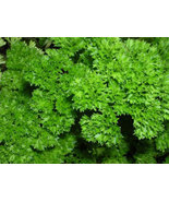 Non GMO - Parsley, Triple Moss Curled - 100 Seeds - $7.99