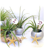 Set of 3 Natures Air Plant Container Terrarium - Silver Bells Tillandsia... - £21.74 GBP