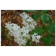 Lilac Betsy Ross - Syringa oblata Established Perennial - 1 Plant in Gallon Pot - $57.54