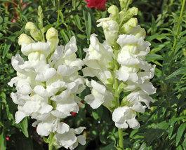 200 Snapdragon Snowflake Seeds - Antirrhinum Majus Maximum - $7.99