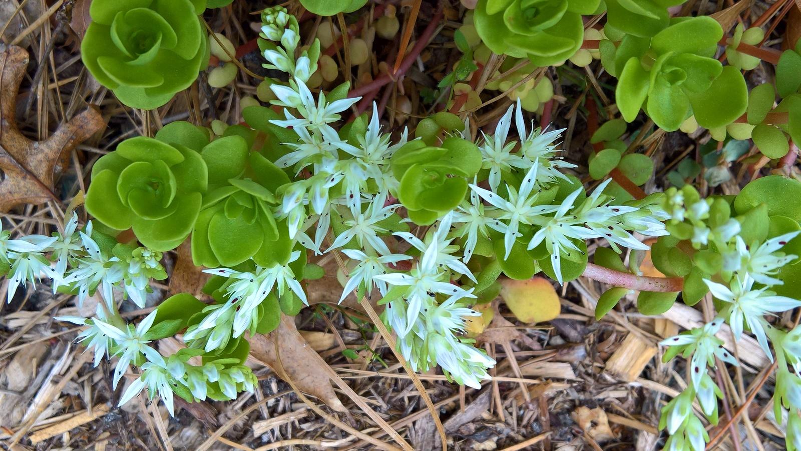 Organic Native Plant, Wild Stonecrop, Sedum terataum