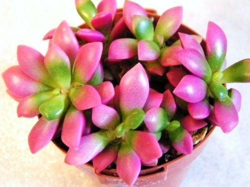 ALOE cv DELTA LIGHTS hybrid exotic color succulent rare flowering seed 10 SEEDS