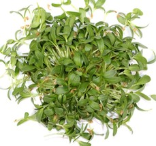 SHIP From US, 1/4 pound 7200 Seeds Fenugreek Herb, DIY Herb Seeds ZJ01 - $58.92