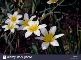 harlequin flower 5 bulbs - Sparaxis bulbifera - $7.99