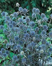 40 seed of Sea Holly Blue Cap Flower - $17.70