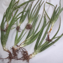 Lot of 2 Pound of  Aloe Vera Medicinal Plant, About 10 Plants, Organical... - $12.75