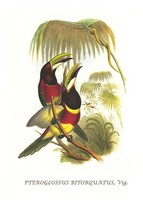 Red Necked or Double Collared Aracari 20x30 Poster by John  Gould - $24.95