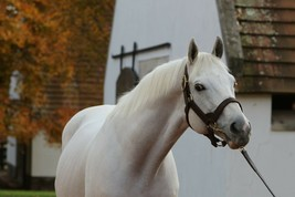 COLOR PHOTO - Stallion- Gainesway Farm- LEADING SIRE TAPIT  side headshot - $8.00+