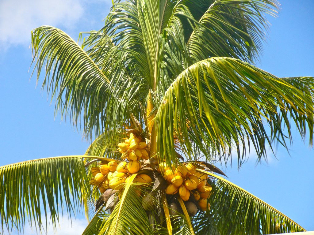 COCONUT (YELLOW) exotic plant palm tree Cocos Nucifera ...
